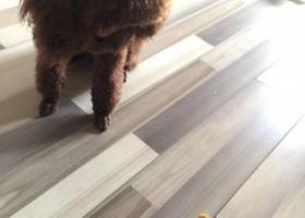 寻狗启示,寻找泰迪小花,体型比较大,眼睛两边有两根白睫毛,它听见叫小花必有反应~13210211234,它是一只非常可爱的宠物狗狗,希望它早日回家,不要变成流浪狗。