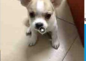寻狗启示,寻狗,寻人,狗是被人偷走了,它是一只非常可爱的宠物狗狗,希望它早日回家,不要变成流浪狗。