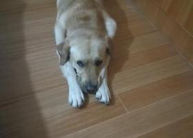 寻狗启示,寻找一只黄色成年拉不拉多公犬,它是一只非常可爱的宠物狗狗,希望它早日回家,不要变成流浪狗。