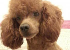 寻狗启示,寻泰迪,安徽交通学院校园里走失,它是一只非常可爱的宠物狗狗,希望它早日回家,不要变成流浪狗。