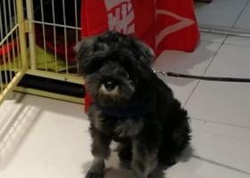 寻狗启示,请好心人帮我找找黑色雪纳瑞,它是一只非常可爱的宠物狗狗,希望它早日回家,不要变成流浪狗。