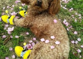 寻狗启示,阜阳颍东区和谐佳苑丢失一泰迪麻烦各位网友见到联系我必有重谢!,它是一只非常可爱的宠物狗狗,希望它早日回家,不要变成流浪狗。