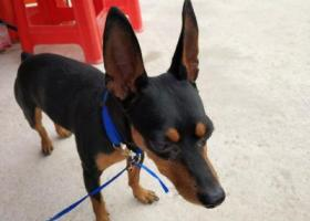 寻狗启示,深圳南山见捡到一只狗,它是一只非常可爱的宠物狗狗,希望它早日回家,不要变成流浪狗。