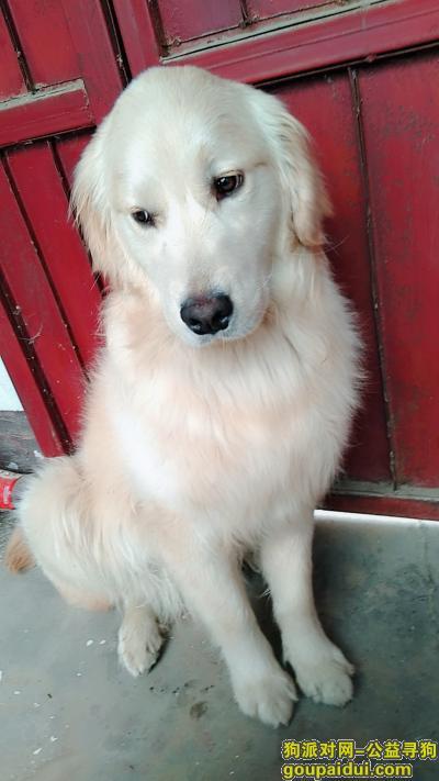 许昌丢狗,狗狗名字,多多,十个月的金毛,,它是一只非常可爱的宠物狗狗,希望它早日回家,不要变成流浪狗。