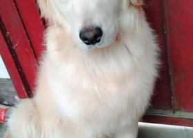 寻狗启示,狗狗名字,多多,十个月的金毛,,它是一只非常可爱的宠物狗狗,希望它早日回家,不要变成流浪狗。