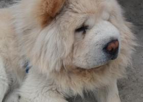 闵行成年松狮狗找主人