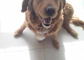 寻狗启示,找脖子下有白毛的金毛犬,它是一只非常可爱的宠物狗狗,希望它早日回家,不要变成流浪狗。