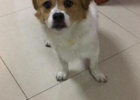 寻狗启示,2018.3.18晚上宝安海雅缤纷城附近捡到一条母串串狗,它是一只非常可爱的宠物狗狗,希望它早日回家,不要变成流浪狗。