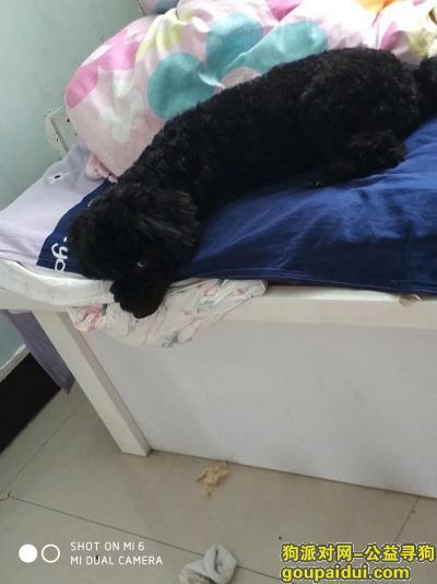 ,寻找黑色泰迪 3月3日走失 麻烦好心人联系 名字叫黑妞,它是一只非常可爱的宠物狗狗,希望它早日回家,不要变成流浪狗。