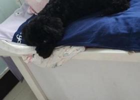 寻狗启示,寻找黑色泰迪 3月3日走失 麻烦好心人联系 名字叫黑妞,它是一只非常可爱的宠物狗狗,希望它早日回家,不要变成流浪狗。