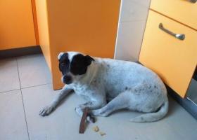 寻狗启示,我的黑白相间的中华田园犬,它是一只非常可爱的宠物狗狗,希望它早日回家,不要变成流浪狗。