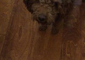 寻狗启示,于18号晚10点在青岛虎山路警苑新居丢失一只泰迪 有看到的请联系 狗狗因炮仗受到惊吓逃跑 主人现在很着急,它是一只非常可爱的宠物狗狗,希望它早日回家,不要变成流浪狗。