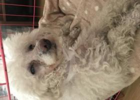寻狗启示,捡到一只白色贵宾 断尾公狗,它是一只非常可爱的宠物狗狗,希望它早日回家,不要变成流浪狗。