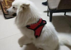 寻狗启示,寻白色萨摩耶 请各位帮忙!!,它是一只非常可爱的宠物狗狗,希望它早日回家,不要变成流浪狗。