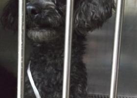 寻狗启示,上清寺捡到黑色泰迪一只。,它是一只非常可爱的宠物狗狗,希望它早日回家,不要变成流浪狗。