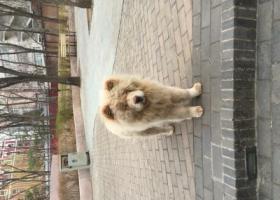 寻狗启示,白色松狮 2018年3月21日中午 于北京市海淀区中国青年政治学院西南门门口小花园看见,它是一只非常可爱的宠物狗狗,希望它早日回家,不要变成流浪狗。