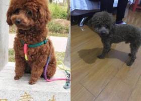 寻狗启示,合肥市瑶海区胜利新村寻找棕色泰迪,它是一只非常可爱的宠物狗狗,希望它早日回家,不要变成流浪狗。