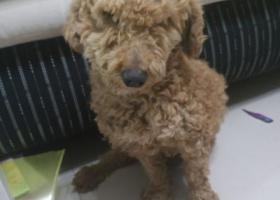 寻狗启示,深圳龙岗工地找到棕色贵宾,它是一只非常可爱的宠物狗狗,希望它早日回家,不要变成流浪狗。