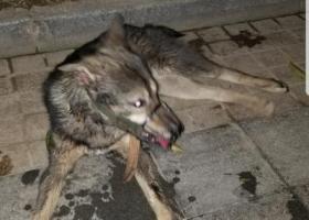 寻狗启示,重庆双福新区恒大影城捡到戴了嘴罩的狗狗,不要赏金,请主人免费带走。,它是一只非常可爱的宠物狗狗,希望它早日回家,不要变成流浪狗。