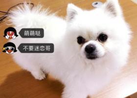 寻狗启示,常州邹区卜弋桥走失白色公博美,望好心人遇见告知,见面重谢,它是一只非常可爱的宠物狗狗,希望它早日回家,不要变成流浪狗。