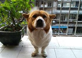 寻狗启示,【重金悬赏!!重金悬赏!!寻回挚爱狗狗】,它是一只非常可爱的宠物狗狗,希望它早日回家,不要变成流浪狗。
