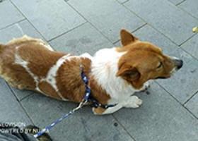 寻狗启示,【重金悬赏!寻回挚爱狗狗】,它是一只非常可爱的宠物狗狗,希望它早日回家,不要变成流浪狗。