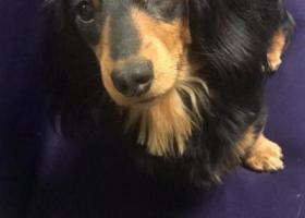 寻狗启示,绍兴人寻爱狗黑色腊肠,它是一只非常可爱的宠物狗狗,希望它早日回家,不要变成流浪狗。