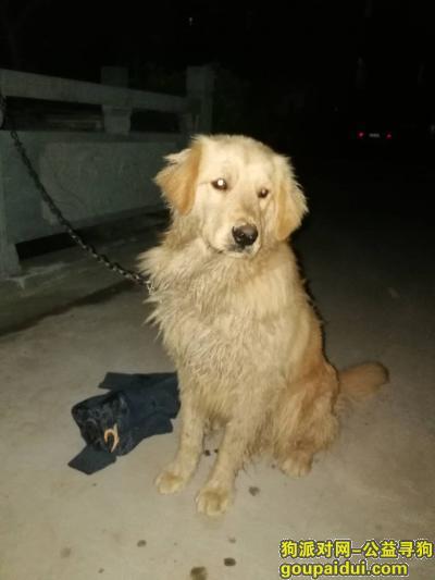 金华寻狗主人,横店捡到金毛狗子一个 横店寻狗,它是一只非常可爱的宠物狗狗,希望它早日回家,不要变成流浪狗。
