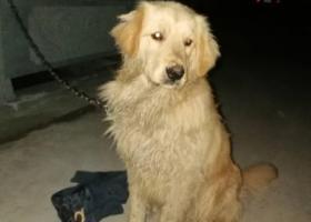 寻狗启示,横店捡到金毛狗子一个 横店寻狗,它是一只非常可爱的宠物狗狗,希望它早日回家,不要变成流浪狗。