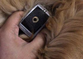 上海松江区捡到金毛,挺大的一只,脖子上还有项圈