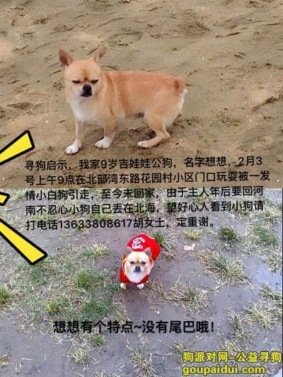 北海寻狗启示,寻:黄色吉娃娃串无尾巴,它是一只非常可爱的宠物狗狗,希望它早日回家,不要变成流浪狗。