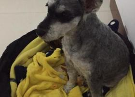 寻狗启示,灰色雪纳瑞在竹丝岗二马路街心公园走失,它是一只非常可爱的宠物狗狗,希望它早日回家,不要变成流浪狗。