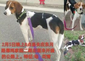 2月5日东月路丢失一只比格犬