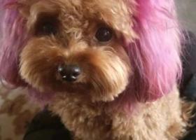 寻狗启示,母泰迪耳朵和尾巴均染粉紫色,它是一只非常可爱的宠物狗狗,希望它早日回家,不要变成流浪狗。