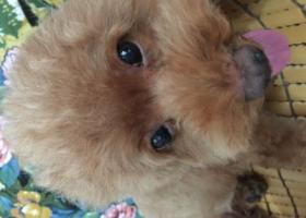 寻狗启示,黄桷坪四川美术学院丢失红泰迪一只,它是一只非常可爱的宠物狗狗,希望它早日回家,不要变成流浪狗。