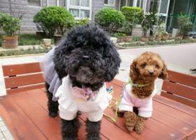 寻狗启示,黑色母泰迪年龄不详寻主,它是一只非常可爱的宠物狗狗,希望它早日回家,不要变成流浪狗。