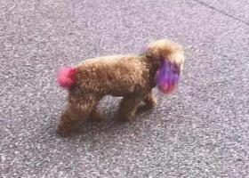 寻狗启示,天津宝坻区华苑西区重金寻找染色泰迪,它是一只非常可爱的宠物狗狗,希望它早日回家,不要变成流浪狗。