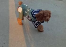 寻狗启示,寻找2岁泰迪犬(公)一只(棕色),它是一只非常可爱的宠物狗狗,希望它早日回家,不要变成流浪狗。