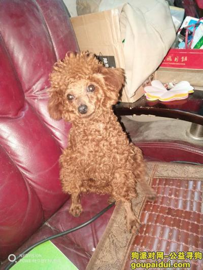,丢失女儿的爱犬,小型棕色泰迪狗,它是一只非常可爱的宠物狗狗,希望它早日回家,不要变成流浪狗。
