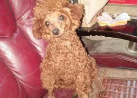 寻狗启示,丢失女儿的爱犬,小型棕色泰迪狗,它是一只非常可爱的宠物狗狗,希望它早日回家,不要变成流浪狗。