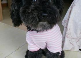 寻狗启示,黑色母泰迪寻找失主快快与我联系,它是一只非常可爱的宠物狗狗,希望它早日回家,不要变成流浪狗。