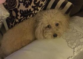 寻狗启示,天津市河东区东泰家园小区寻找9岁泰迪,它是一只非常可爱的宠物狗狗,希望它早日回家,不要变成流浪狗。