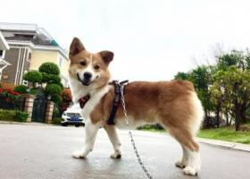 寻狗启示,#寻狗启示#柯基 福州五四北主题公园附近走丢,它是一只非常可爱的宠物狗狗,希望它早日回家,不要变成流浪狗。