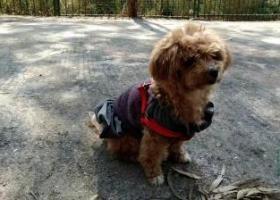 寻狗启示,贵宾犬女孩BOBO走失,它是一只非常可爱的宠物狗狗,希望它早日回家,不要变成流浪狗。