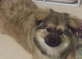 寻狗启示,重金酬谢!白云区京溪丢失蝴蝶犬串串,它是一只非常可爱的宠物狗狗,希望它早日回家,不要变成流浪狗。