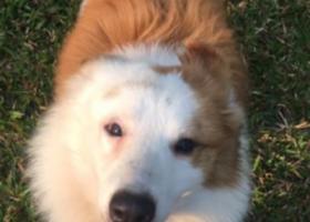 寻狗启示,寻找边境牧羊犬主人,狗狗黄白相间,,它是一只非常可爱的宠物狗狗,希望它早日回家,不要变成流浪狗。