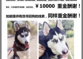 寻狗启示,重金10000寻找爱犬贝贝,它是一只非常可爱的宠物狗狗,希望它早日回家,不要变成流浪狗。