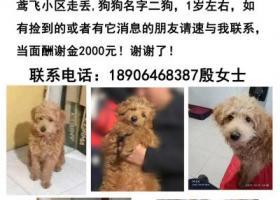 寻狗启示,狗启示 在潍坊高新区鸳飞小区附近走失泰迪狗狗一只,它是一只非常可爱的宠物狗狗,希望它早日回家,不要变成流浪狗。