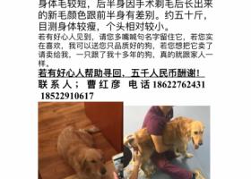 寻狗启示,天津五千寻找金毛女孩,它是一只非常可爱的宠物狗狗,希望它早日回家,不要变成流浪狗。