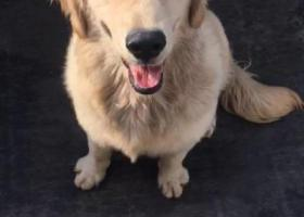 寻狗启示,状元耐宝路丢失一只金毛,寻回有谢!,它是一只非常可爱的宠物狗狗,希望它早日回家,不要变成流浪狗。